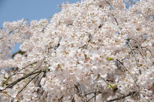 奈良へお花見に
